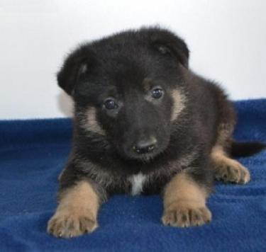 pura raza lindo pastor alemán perritos
