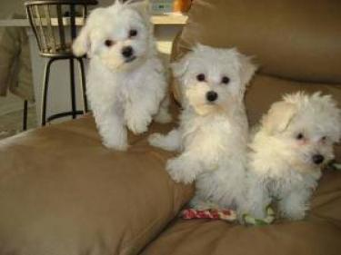 Libre preciose cachorros Bichon maltes mini toy gratis