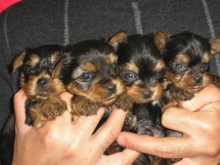 regalo Lindo Yorkshire Terrier cachorros para la adopción