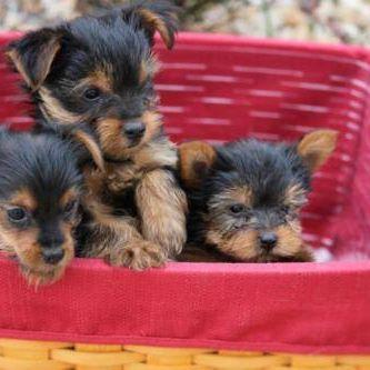 Regalo Yorkshire cachorros para su adopción