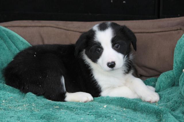Regalo pura raza de border Collie para adopcion