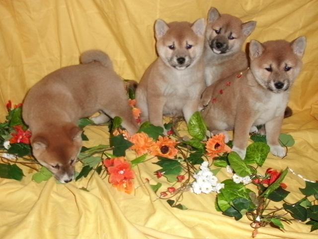 Regalo fantastico cachorros de Shiba Inu