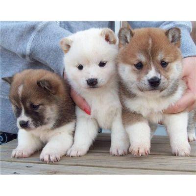 Regalo Excelente cachorros Shiba Inu de 2 meses