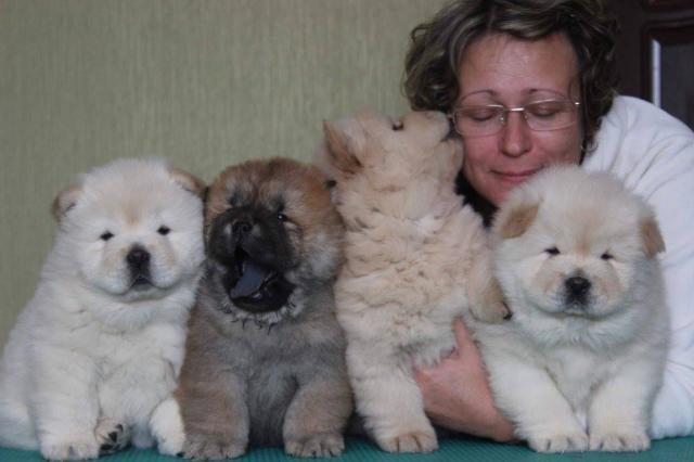 Cachorros chow chow en rojo y blancos