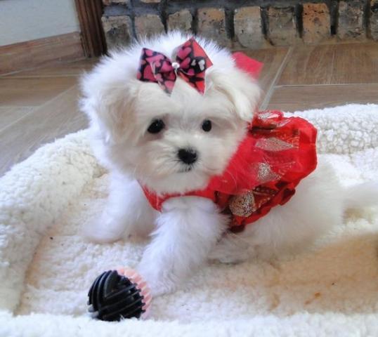 Regalo preciose cachorros Bichon maltes mini toy gratis