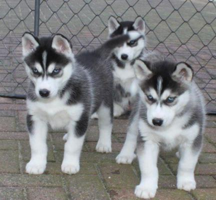 Cachorros husky siberiano azul registrado