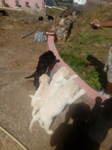 Cachorros de Labrador Retriever, listos para la entrega (Con LOE)