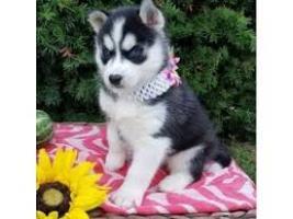 REGALO Cachorros Husky Siberiano 12 semanas a muy buen precio