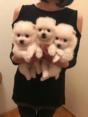 Súper adorables cachorros Pomerania