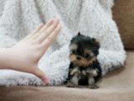 REGALO Cachorros Yorkshire 12 semanas a muy buen precio