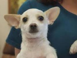 Regalo Chihuahua cachorros macho y hembra para adopcion