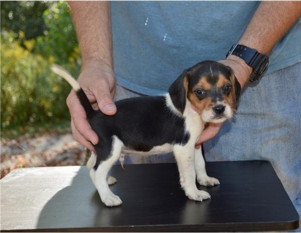 REGALO Cachorros Beagle 12 semanas a muy buen precio