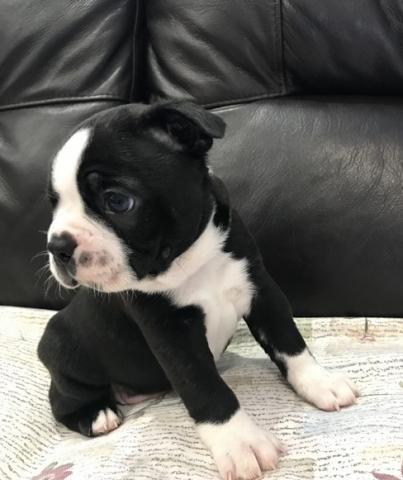 Maravillosa cachorros boston terrier