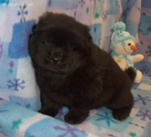 Perro Chow Chow excepcional
