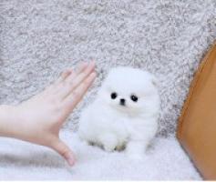 Regalo Cachorros de pomeranian