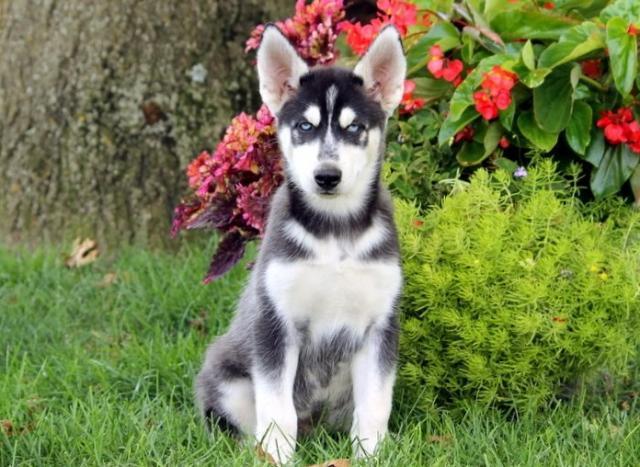 Regalo Cachorros husky socializados bien para adopcion .