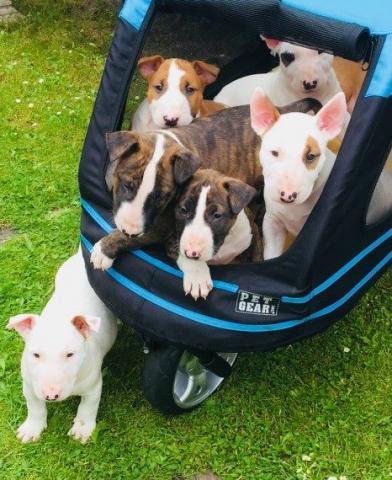 Regalo inteligente Bull Terrier Macho y Hembra Para Su Adopción
