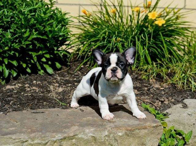Regalo muy bonito Cachorros de Bulldog Francés Disponible
