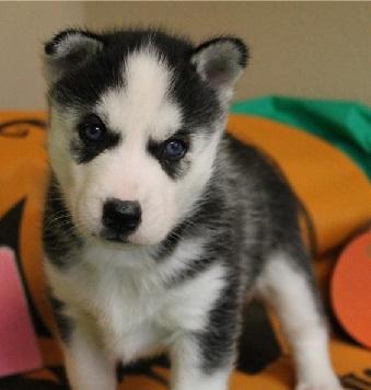 Cachorros de husky siberiano gratis