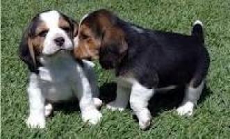 Regalo Dañando a Beagle Puppy para Adopción