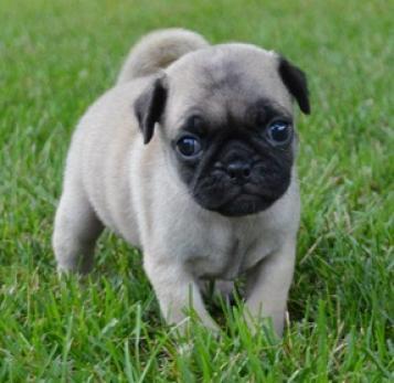 precioso carlino pug cachorros para aprobación