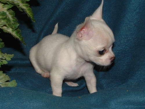 Regalo preciose mini toy chihuahua cachorros