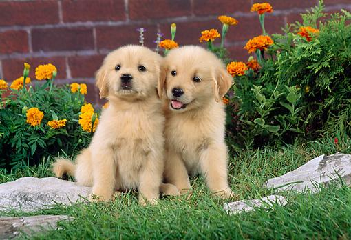 Regalo Impresionate Cachorros Golden Retriever para su adopcion l