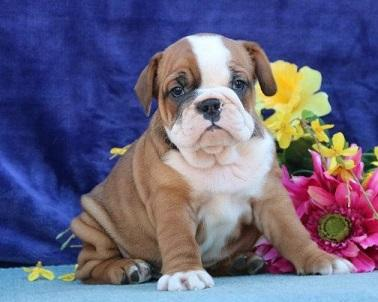 regalo bulldog inglés cachorros