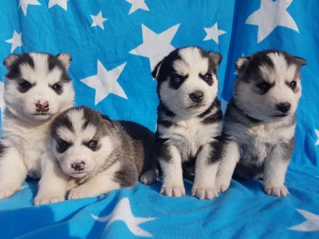 *REGALO Husky Siberiano para un nuevo hogar*