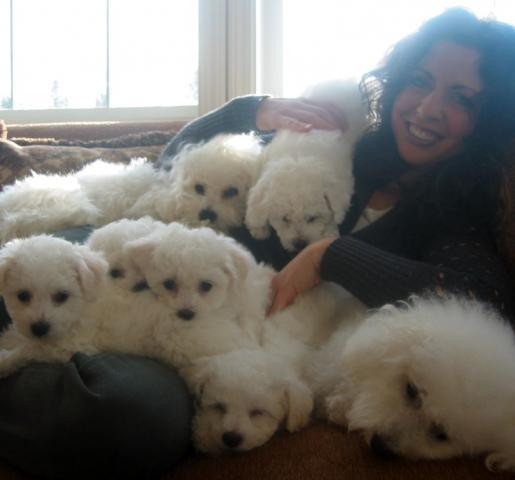 REGALO*Cachorro Bichon Maltes para nuevo hogar*