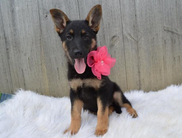 Regalo Pastor Alemán Cachorros Para Su Adopción