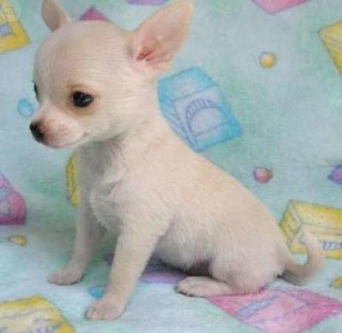 Regalo preciosa chihuahua cachorros para adopcion