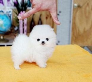 Regalo pomeranian mini cachorros para adopcion