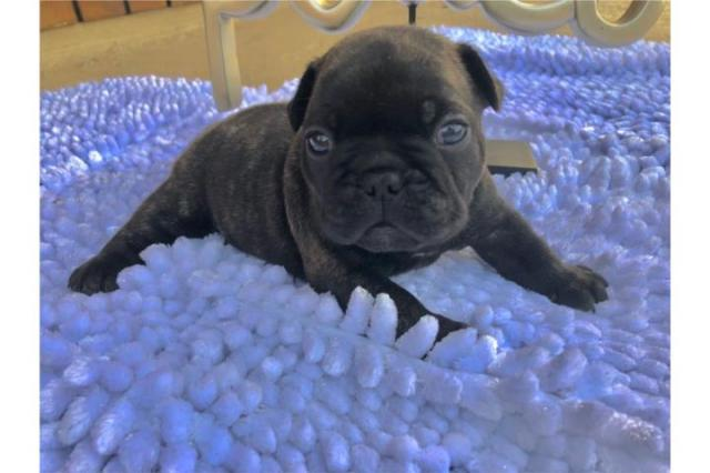!!bulldogs French Cachorros disponible ahora