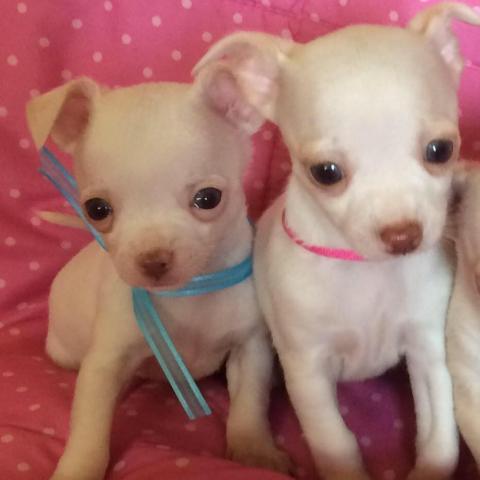 Regalo Cachorros Chihuahua Para Su Adopcion