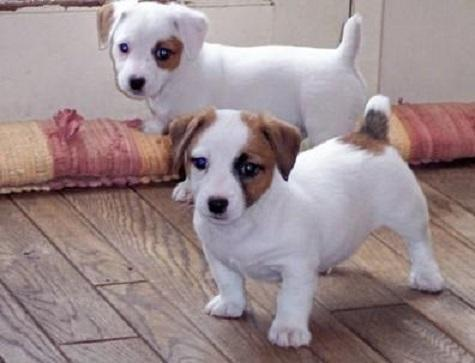 Cachorros adorables UKC Jack Russell Terrier