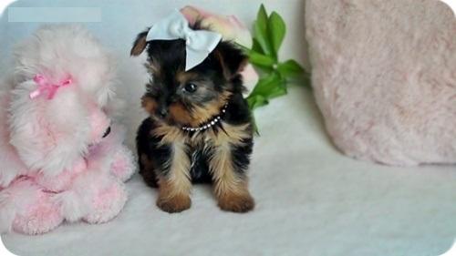 Regalo Cachorros yorkshire terrier mini toy con pedigree,