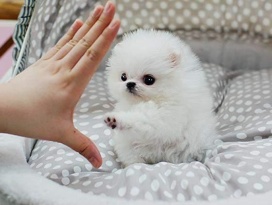 *REGALO mini Pomerania para un nuevo hogar*