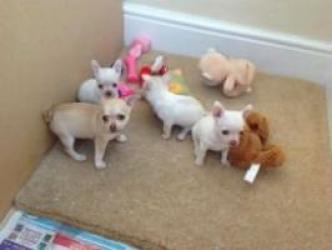 Regalo Chiuhuahua Cachorros listos para un nuevo hogar ahora
