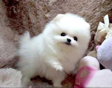 Regalo Perrito hermoso, pomeranian mini toy