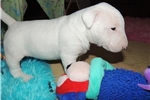 Regalo machos y Hembras Miniatura Cachorros Bull Terrier