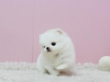 REGALO Pomerania mini toy Para Adopcion