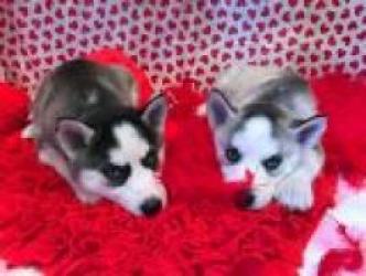 Regalo macho y Husky cachorros