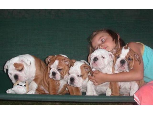 Regalo Cachorros Bulldog Inlglés Macho y Hembra Para Su Adopción