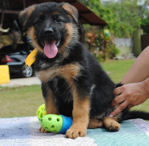 Regalo Cachorros Pastor Alemán Macho y Hembra Para Su Adopción
