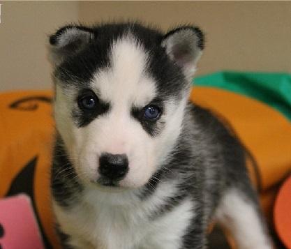 adoptar cachorros de husky siberiano