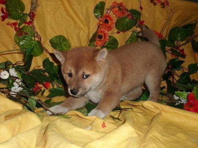 Regalo preciosa cachorros de Shiba Inu