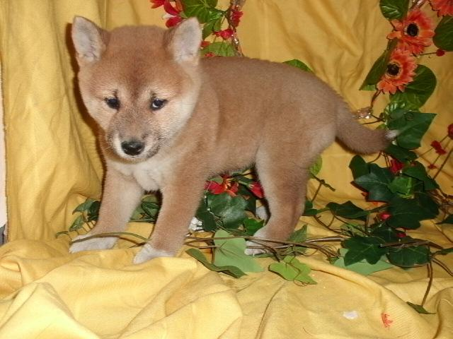 Cachorros Shiba Inu para adopcion gratis
