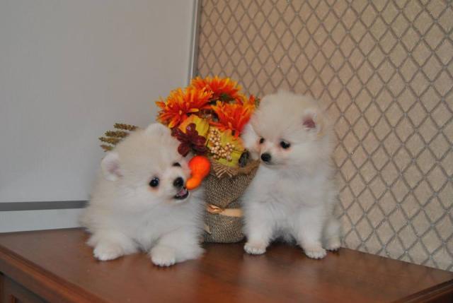Perrito Pomeranian blanco como la nieve hermoso, muchacha.