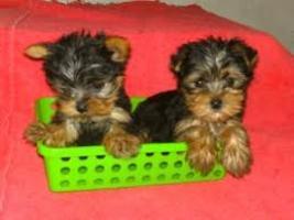 Regalo cachorros Yorkshire terrier mini disponibles para la adopc